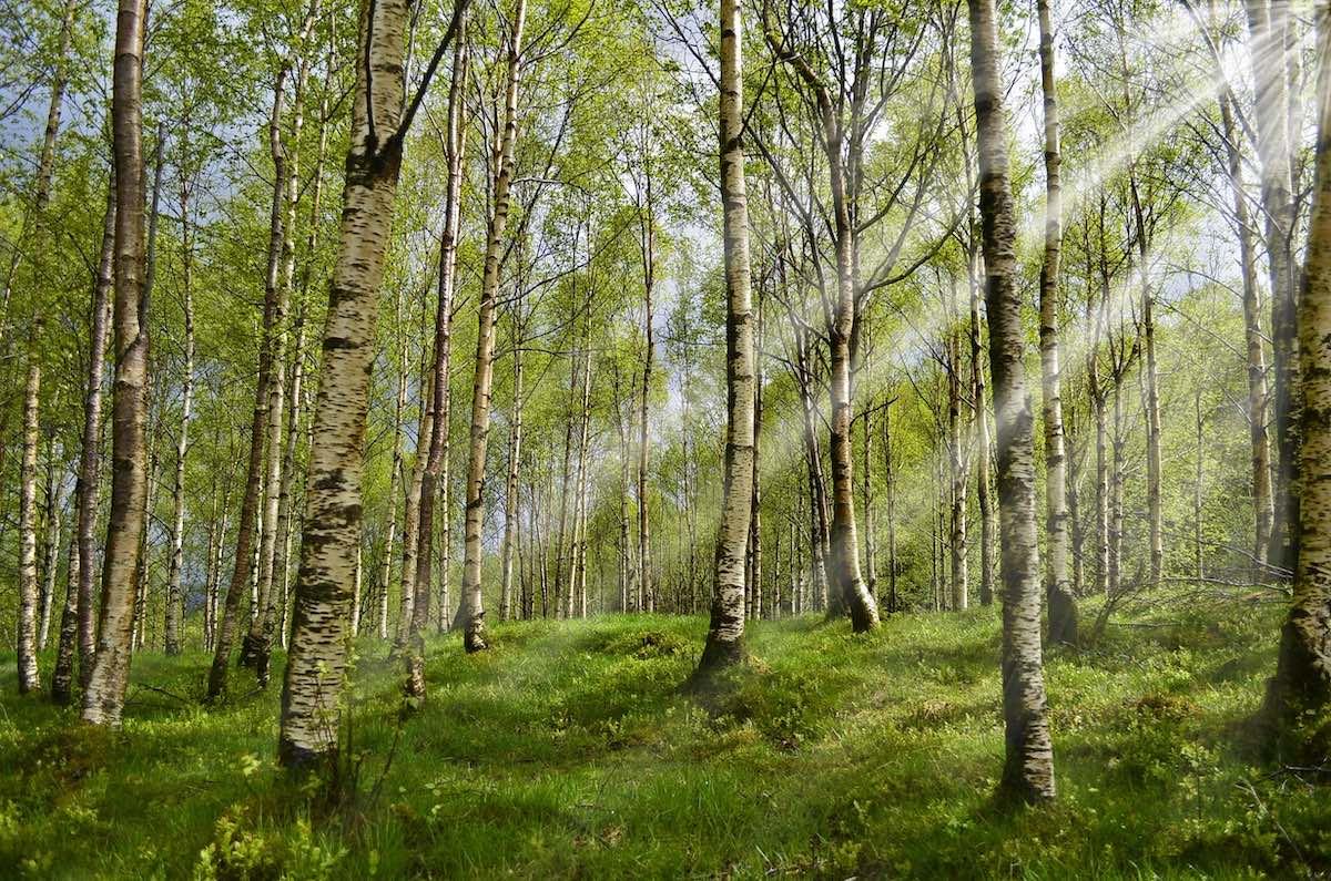 ес, березы, деревья, природа, весна, погода