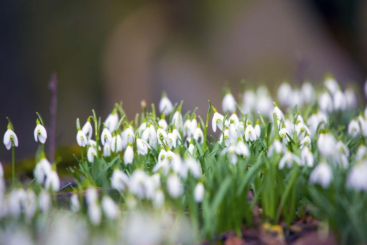 подснежники, цветы, весна, погода