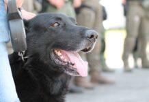 служебный пес Тибу